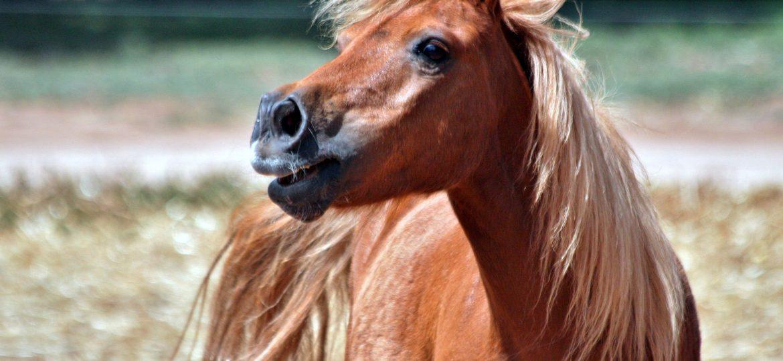 Top 10 Shetland Pony's van deze week op ehorses