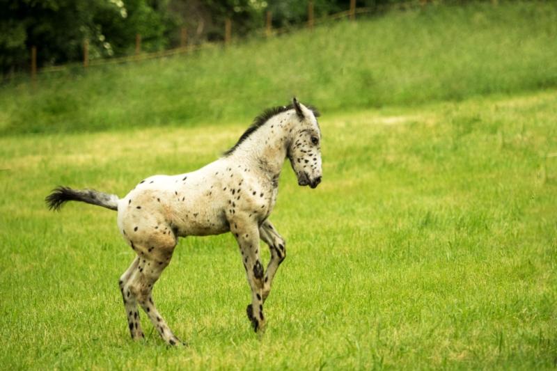 Top 10 Knabstrupper Paarden op ehorses!