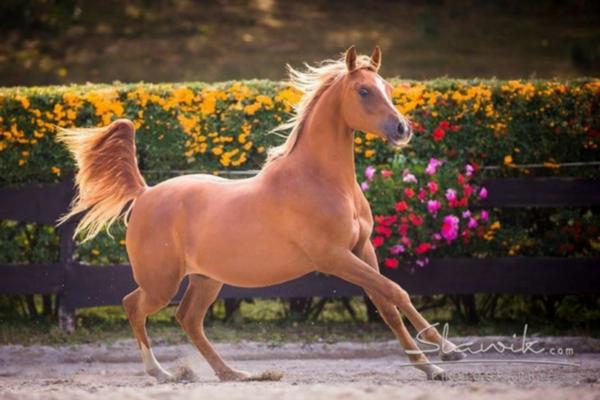Top 10 Arabisch Volbloed Paarden