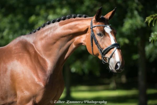 Top 10 Hannoveraan paarden