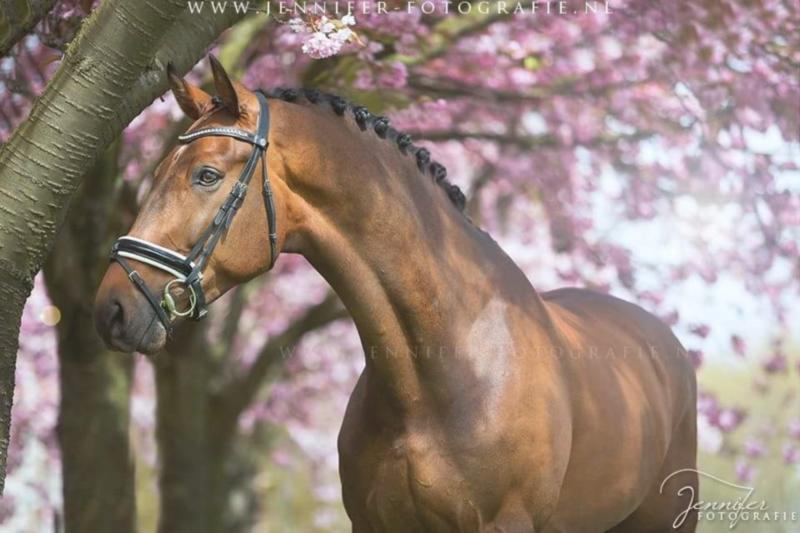 Top 10 KWPN verkooppaarden van deze week bij ehorses