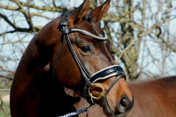 Top 10 KWPN paarden op ehorses.nl