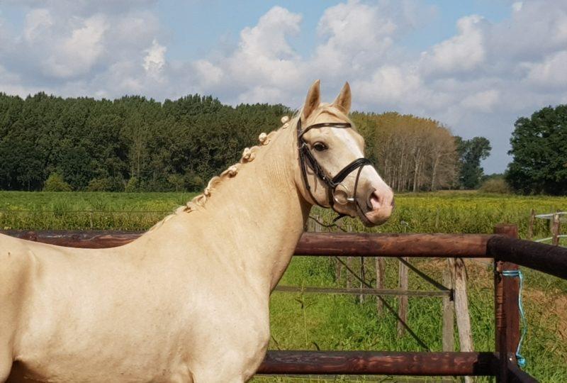 Top 10 verkooppaarden op ehorses.nl
