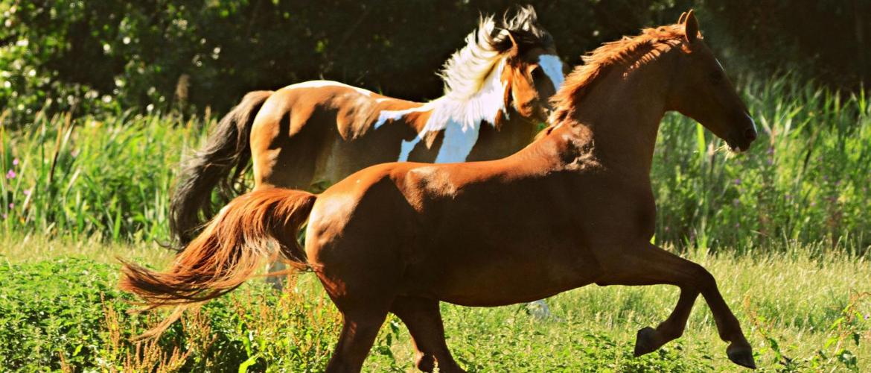 De buitenkant van het paard: alles over de anatomie van paarden