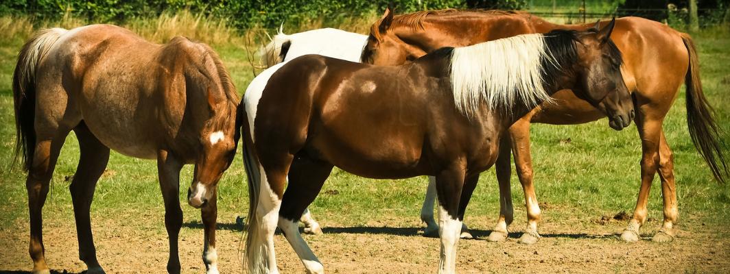 De verschillende vachtkleuren bij paarden